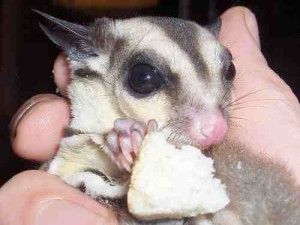 Sugar Glider Food and Nutrition