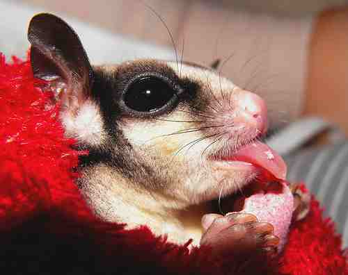 How Do Sugar Gliders Get Their Food